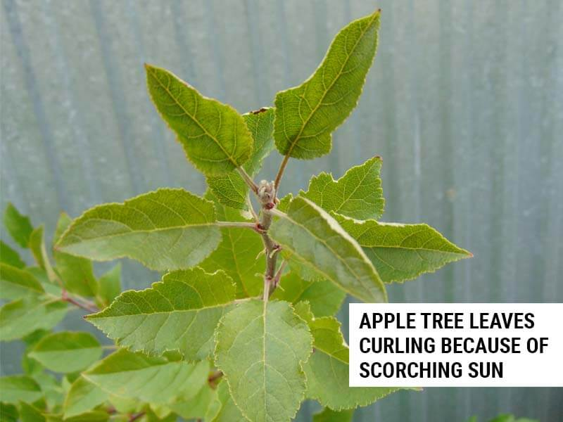 Apple tree leaves curling because of scorching sun.