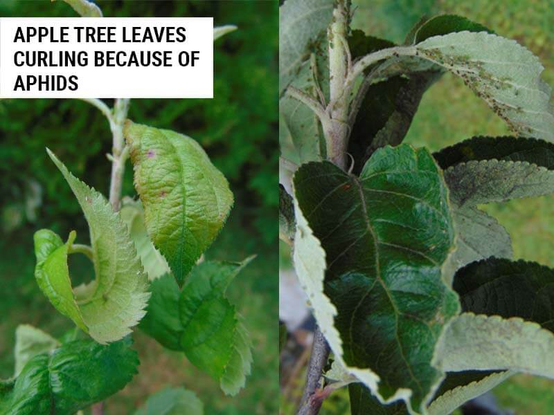 Apple tree leaves curling because of aphids.