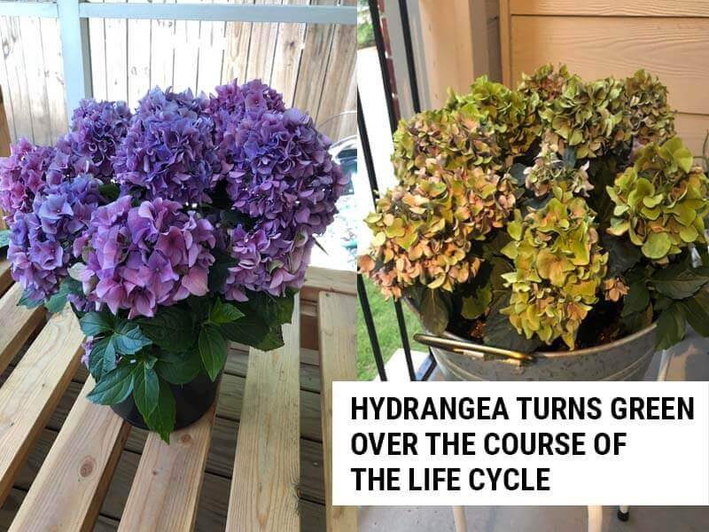 Hydrangea turning green