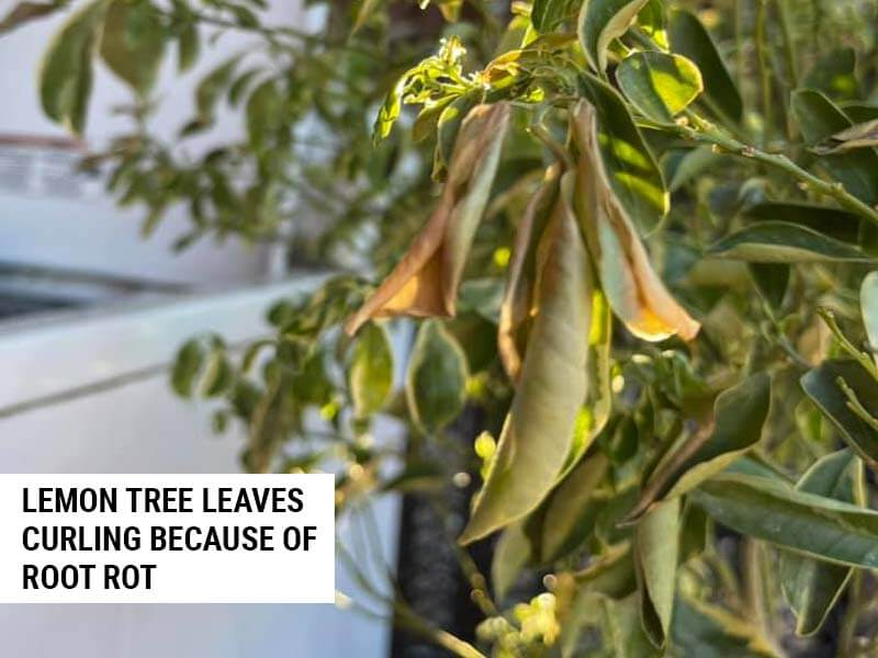 Lemon tree leaves curled because of root rot.