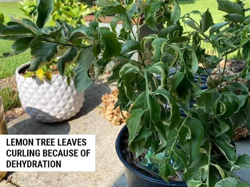 Lemon tree leaves curling
