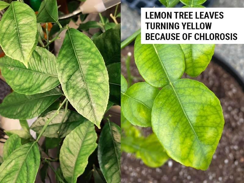 Lemon tree leaves turning yellow because of chlorosis.