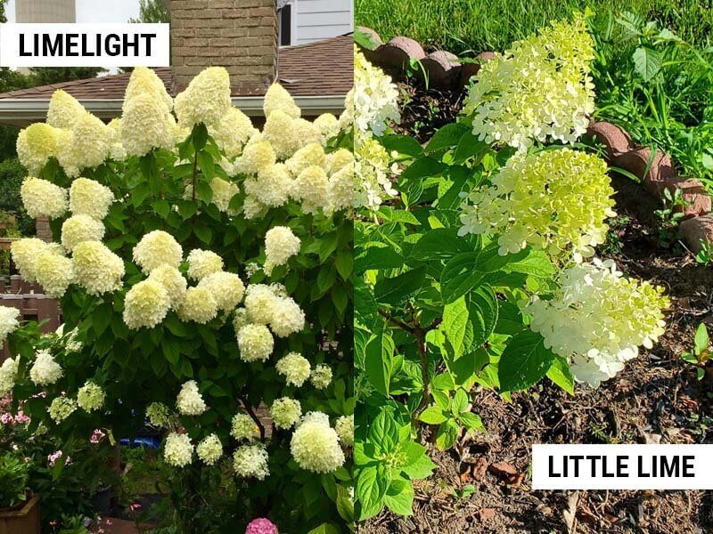 Limelight and Little Lime hydrangeas turning green