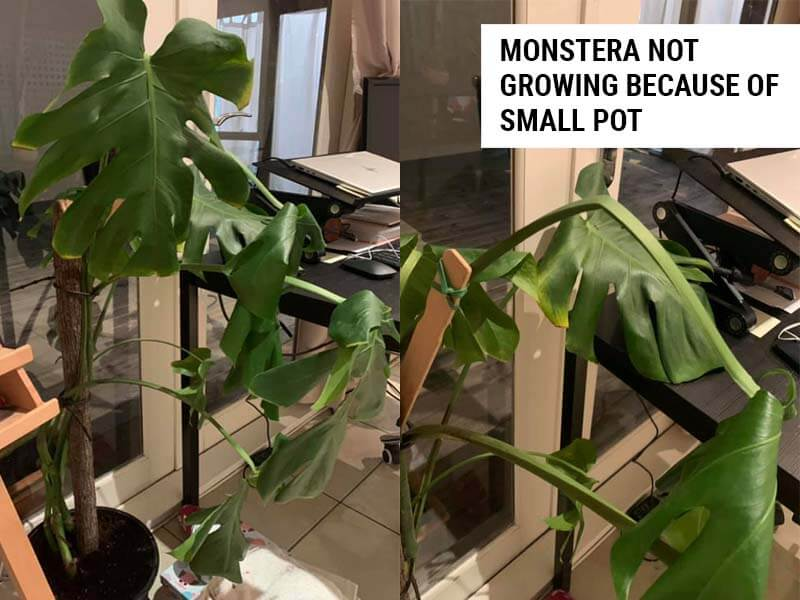 Monstera not growing because of a small pot