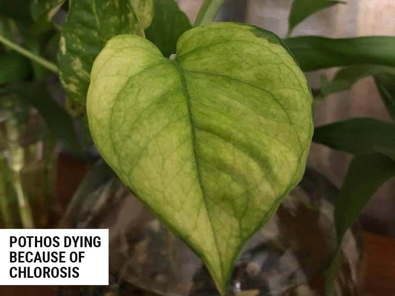 Pothos dying because not enough nutrients.