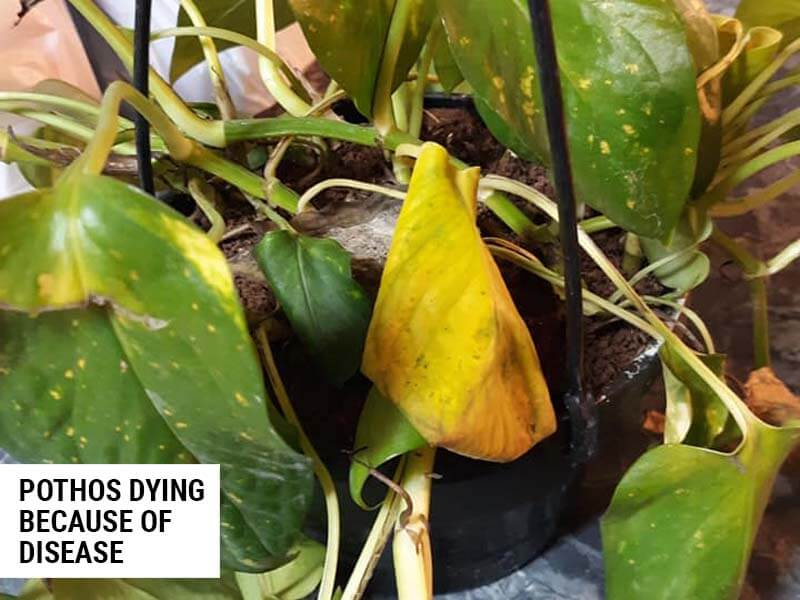 Pothos dying because of disease.