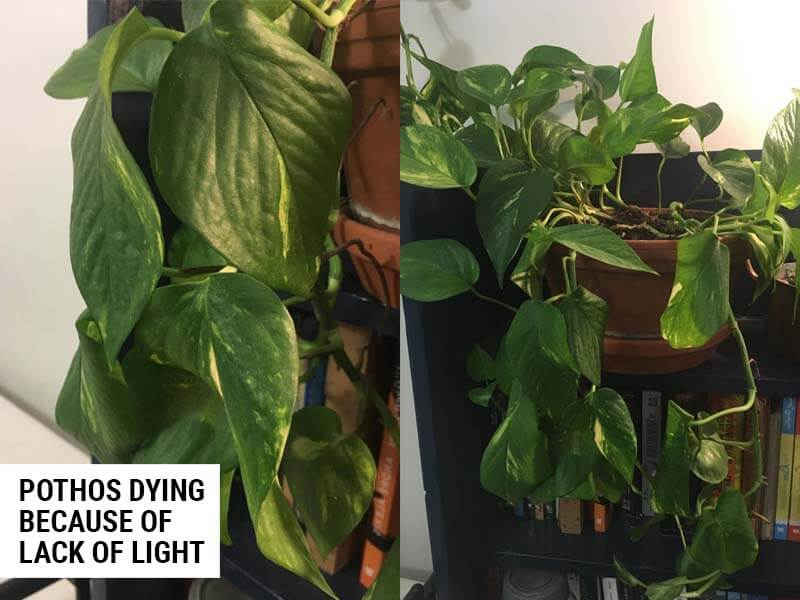 Pothos dying because of lack of light.