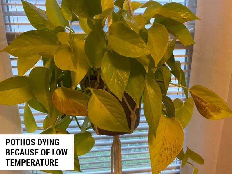 Pothos dying because of low temperature.
