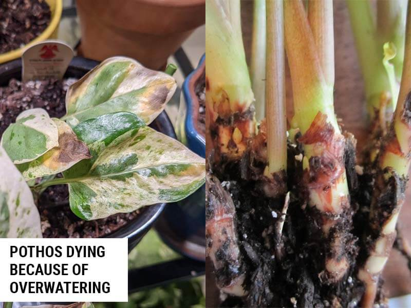 Pothos dying because of root rot
