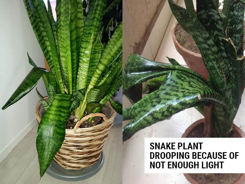 Snake plant drooping because of not enough light.