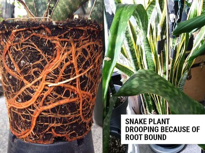 Snake plant drooping because of rootbound.