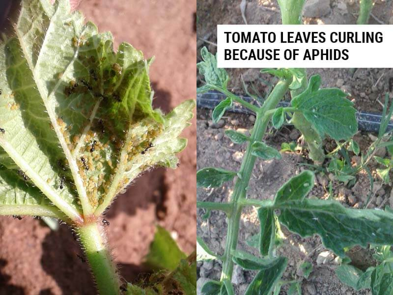 Tomato leaves curling because of aphids.