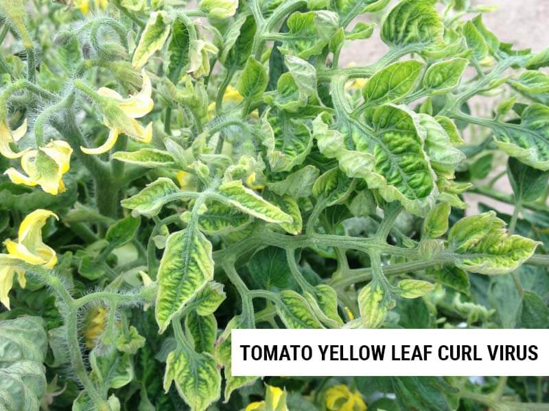 Tomato leaves curled by TYLCV