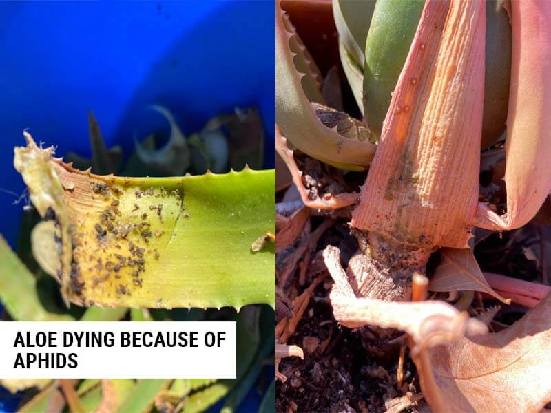 Aloe dying because of aphids.