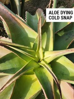 Aloe dying because of cold snap.