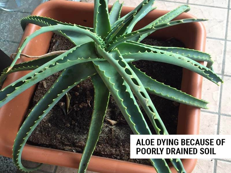 Aloe dying because of poorly drained soil.