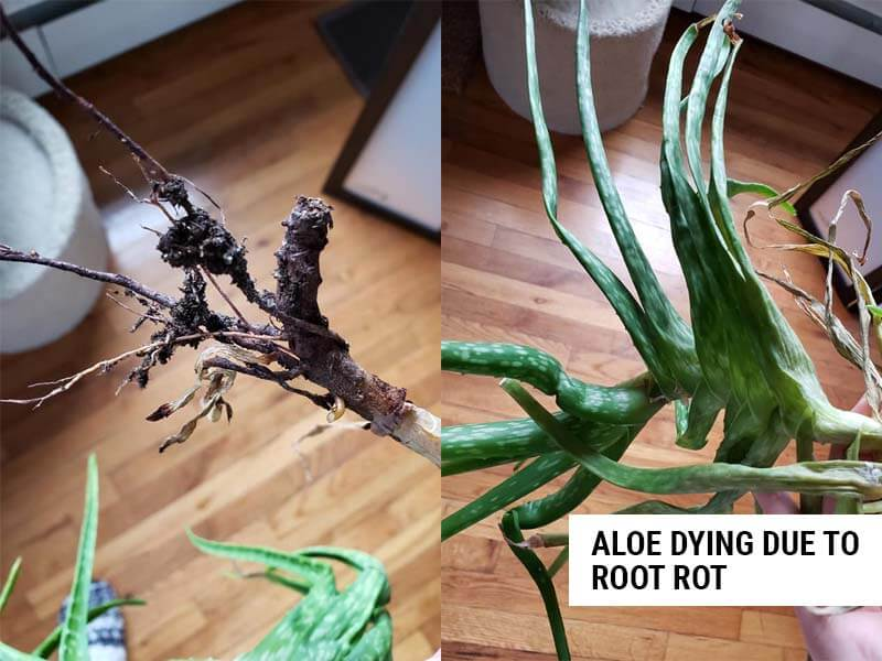 Aloe dying due to root rot.