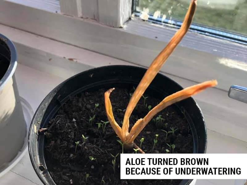 Aloe turning brown because of underwatering