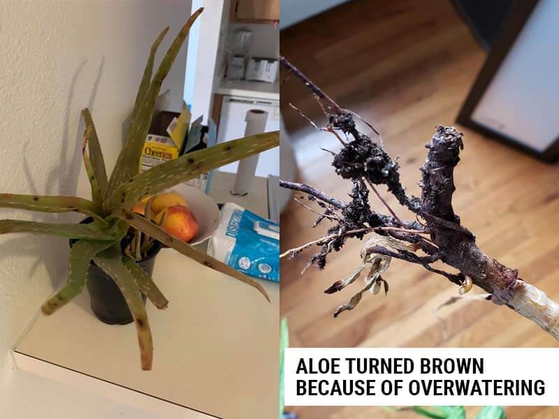 Aloe turning brown because of overwatering.