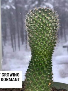 Cactus not growing because of dormant in winter.