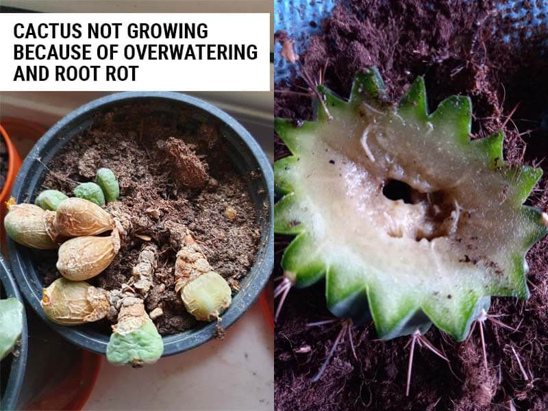 Cactus not growing because of root rot.