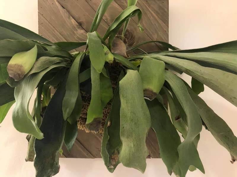 fern leaves curling