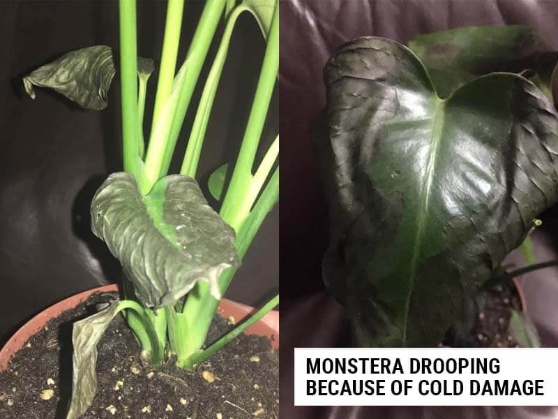 Monstera drooping because of cold damage