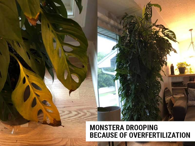 Monstera drooping because of overfertilization