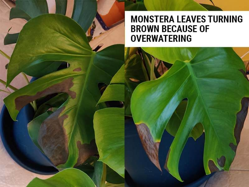 Monstera leaves turning brown because of root rot after overwatering.