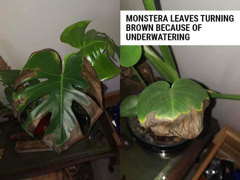 Monstera leaves turning brown because of underwatering.