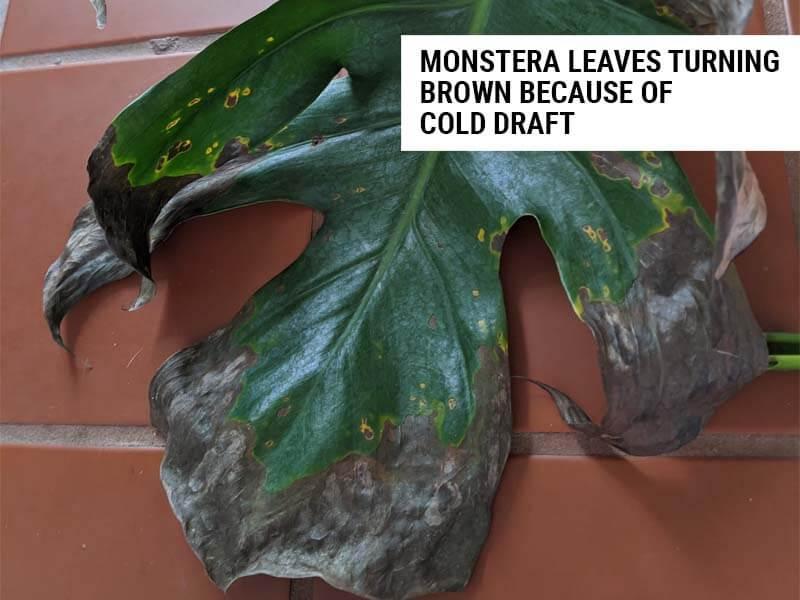 Monstera leaves turning brown
