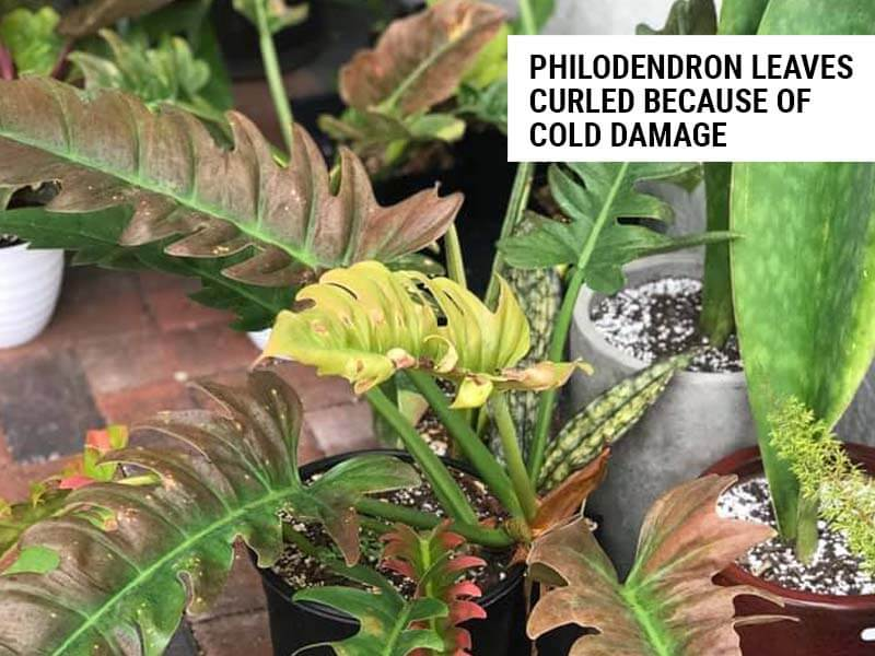 Philodendron leaves curled because of cold draft.