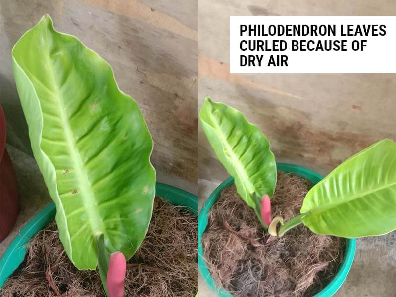 Philodendron leaves curled because of excessively dry air.
