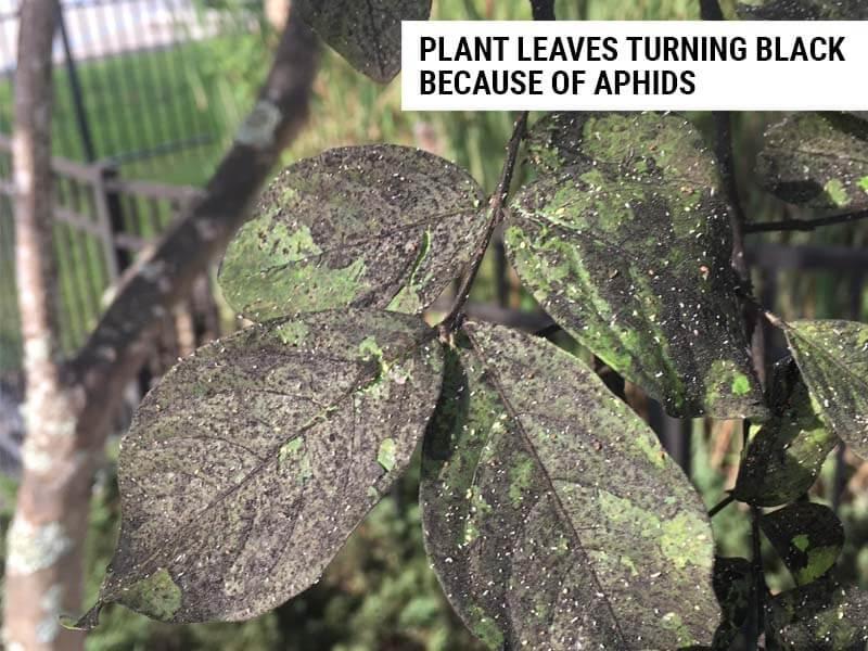 Plant leaves turning black