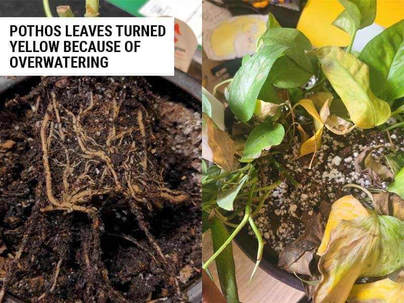 Pothos leaves turned yellow because of improper moisture levels.