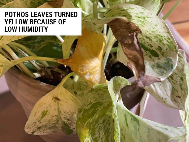 Pothos leaves turned yellow because of low humidity.