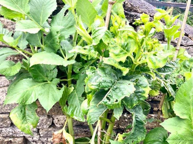 Dahlia is dying because of pest infestation