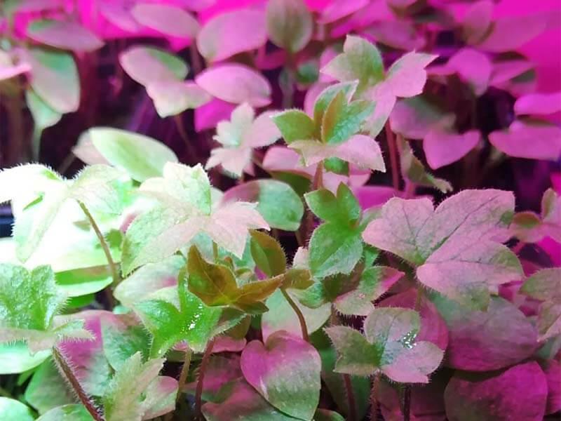 delphinium not blooming